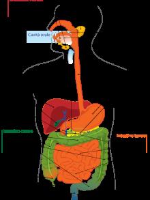 L'intestino: il nostro secondo cervello sensibile alle emozioni